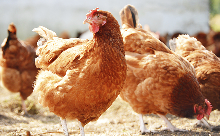 Intersting facts about chicken in hindi