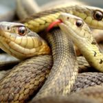 many snakes together