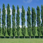 poplar tree ki kheti in hindi