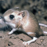 Amazing Facts About the Kangaroo Rat