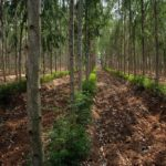 eucalyptus cultivation making farmers richer