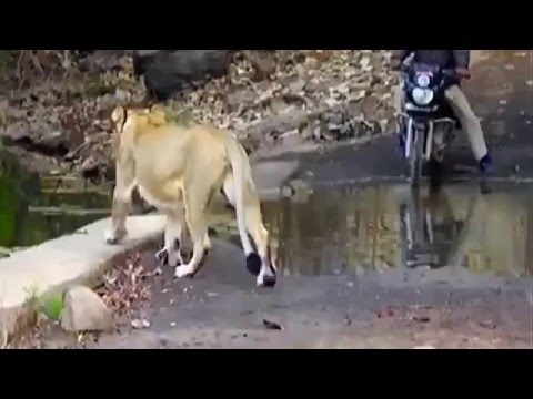 Lion walks past withouth hurting bike rider watch video