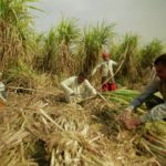 sugar cane cultivation