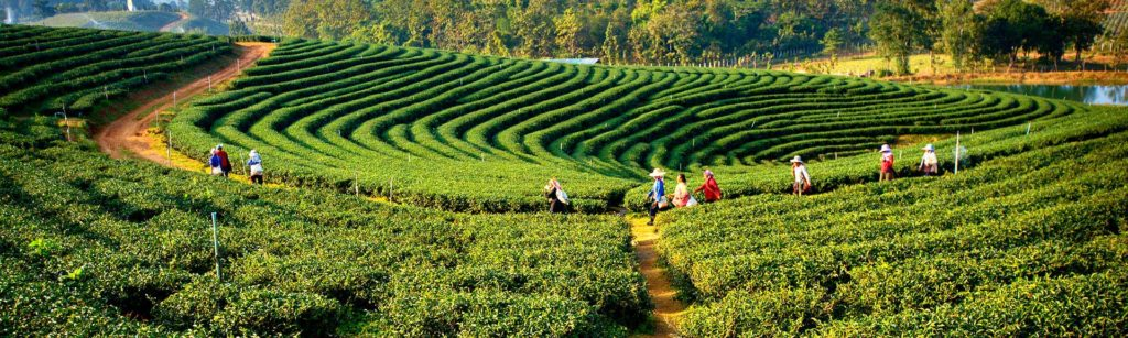 west-bengal_darjeeling_plantations-at-darjeeling_iwpl2