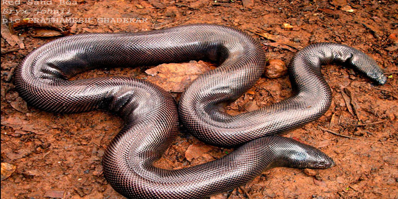 three-arrested-for-smuggling-red-sand-boa-through-erode-indialivetoday