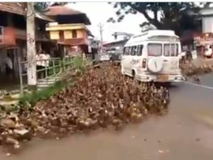 Flock of ducks crosses road in Kerala left traffic held up natizens goes gaga after video goes viral