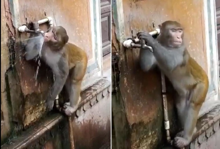 Monkey Closes Tap After Drinking Water Tiktok Video Viral On Social Media